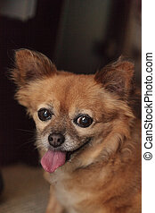 Chubby elderly Chihuahua Pomeranian