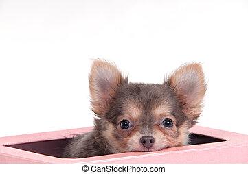 Chuhuahua dog in a box