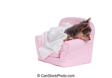 Chuhuahua lying in a bed with blanket ready to sleep isolated on white background
