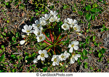 Thickets of flowers covered tundra. - Chukotka Arctic...