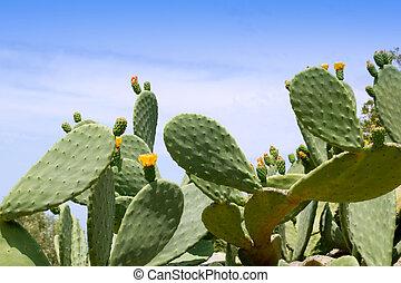 chumbera nopal cactus plant typical mediterranean