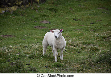 Chunky Young White Lamb Standing Still in a Field