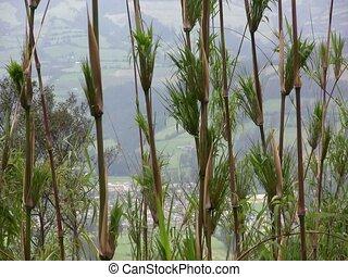 Chusquea Bamboo -  on an Andean hillside, Ecuador