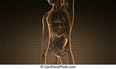 ciência, anatomia, varredura, de, human, cólon