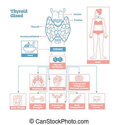 ciência, glândula, ilustração, endocrine, system., vetorial...