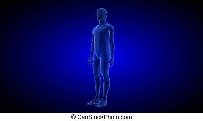 ciało, błękitny, render, skandować, seamless, background.-, anatomia, ludzki, obracający, pętla, 3d