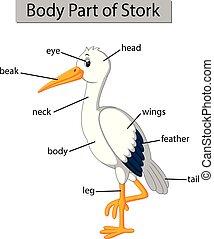 ciało, bocian, pokaz, część, diagram