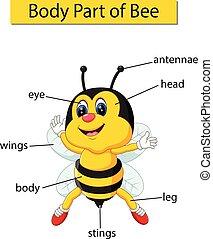 ciało, diagram, pokaz, część, pszczoła