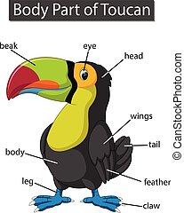 ciało, diagram, pokaz, część, tukan