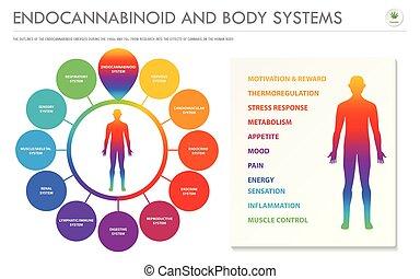 ciało, endocannabinoid, infographic, poziomy, handlowy, ...