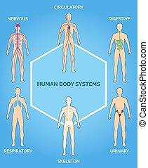 ciało, ludzki, wektor, systemy, ilustracja