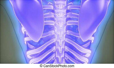ciało, ludzki, widoczny, kość, przeźroczysty