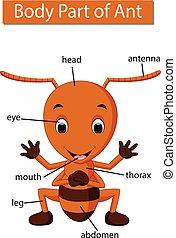 ciało, mrówka, pokaz, część, diagram