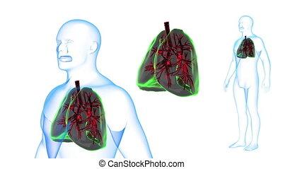 ciało, płuca, rotation., skutki, ludzki, pętla, rentgenowski