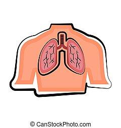 ciało, płuco, odizolowany, ludzki