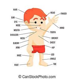 ciało przedziela, projektować, ludzki, ilustracja