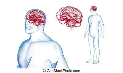 ciało, render, mózg, skutki, rotation., pętla, ludzki, rentgenowski, 3d
