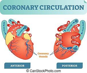 ciało, serce, obieg, płuca, diagram, sekcja, body., potok, krzyż, ilustracja, wstecz, anatomiczny, naklejona etykietka, wektor, przez, krew, objazd, wieńcowy, scheme.