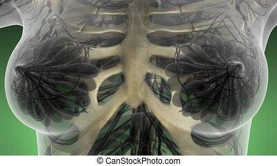 ciało, szkielet, nauka, anatomia, ludzki, kość, rentgenowski