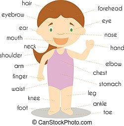 ciało, wektor, słownik, ilustracja, strony, ludzki