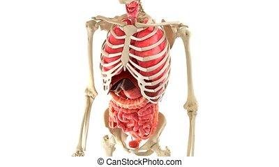 ciało, wewnętrzny, ludzki, ruch obrotowy, organy, pętla