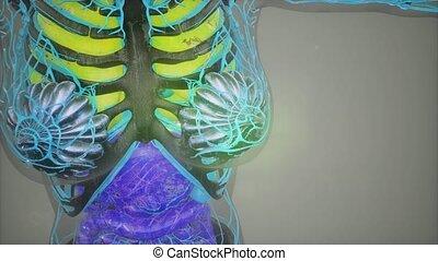 ciało, wzór, ludzki, ilustracja