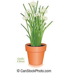 ciboulette, pot fleurs, ail, aromate, argile