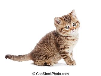 cica,  shorthair, elszigetelt, brit, Macska
