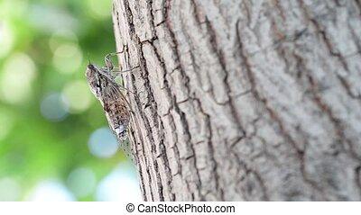 Cicada camouflaged on an olive tree - Cicada camouflaged on...
