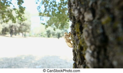 Cicada (Cicadidae) Skin clinging to a Tree bark - Cicada...
