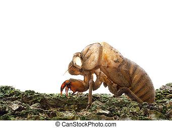 Cicada (Cicadidae) Skin on a Tree