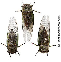 Cicada Insect