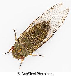 Cicada isolated on white background - Cicada macro isolated...