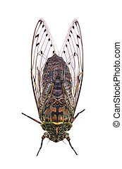 cicada isolated on white background