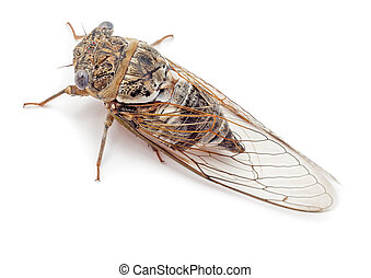 Cicada isolated top view