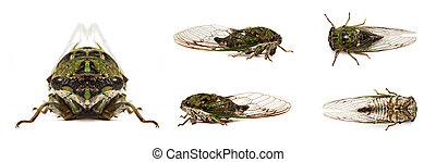 Cicada - multiple views of cicada