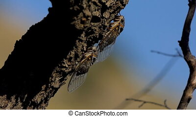 The cicada sits on the trunk of a tree. The shooting was done in macro mode. Blurred background.