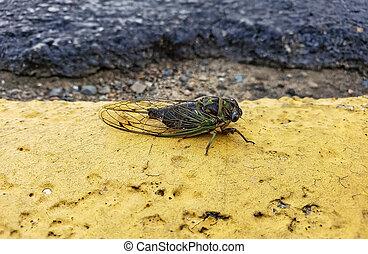 cicada on yellow painted asphalt