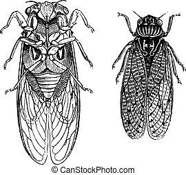 Cicada or Cicadidae or Tettigarctidae, vintage engraving. Old engraved illustration of Cicadas.