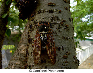 Cicada - This is an insect called cicada which is very...