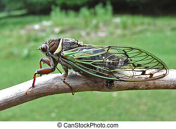 Close up of a cicada (Tibicen bichamatus) on branch. South of Russian Far East, Primorye.