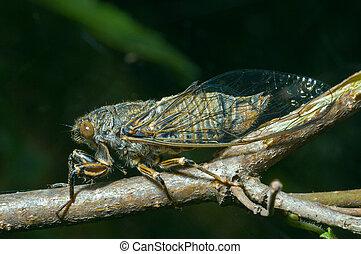 A close-up of the cicada (Tibicen bihamatus).