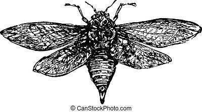 Cicada, vintage engraved illustration.