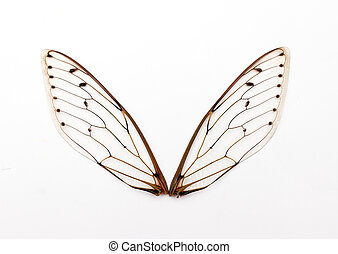cicada wings. - A pair of cicada insect  wings