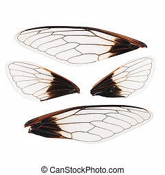 cicada wings isolated