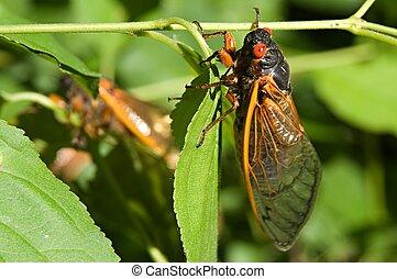 Cicadas [19] - Red eyed 17 year cicada