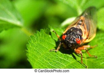 Cicadas [2]
