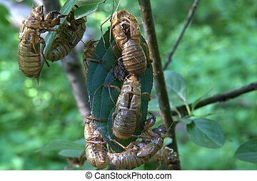 Empty shells; Hollow carcasses are the only indication that this was the year of the 17 year cicadas; the spider in the middle appears confused...