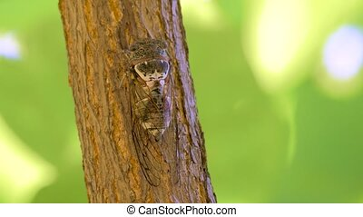 Cicadidae insect. Singing cicada. Cicadidae on the tree trunk. Flora of Europe. Little cicadidae. Macro close up. Insect of wildworld. Biology. Cicadidae songs. Cicada season. Traveling concept