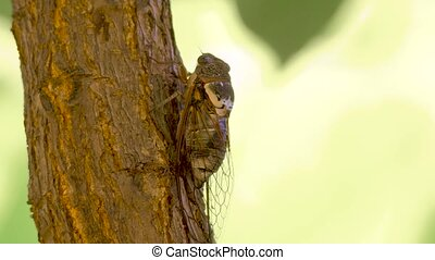 Cicadidae insect. Singing cicada. Cicadidae on the tree trunk. Flora of Europe. Little cicadidae. Macro close up. Insect of wildworld. Biology. Cicadidae songs. Cicada season. Traveling concept.